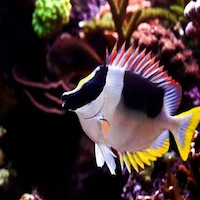magnificent foxface fish